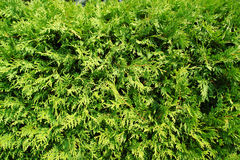 Free Green Leaves Of A Thuja On A Wall. Stock Images - 4062504