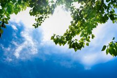 Free Green Leaves Of A Tree Against The Blue Sky And The Sun. Soft White Clouds In The Blue Sky. Sun Soft Light Through The Green Royalty Free Stock Photography - 151489617