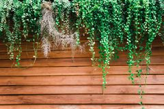 Green Leaves Of Dischidia Nummularia Plant On Wood Wall Close Up Royalty Free Stock Photos
