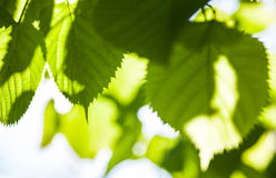 Free Green Leaves Of The Lime Tree In The Sunshine Stock Photos - 82257043