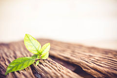 Green leaves on old wood. Stock Photography