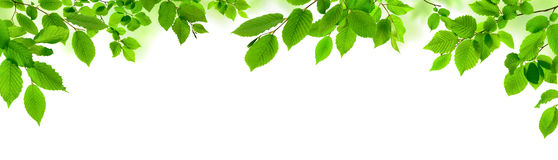 Green Leaves On White As A Wide Border Stock Image