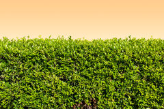 Green leaves on orange wall background Stock Photo