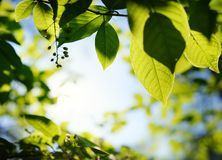 green leaves over abstract blurred background Royalty Free Stock Image