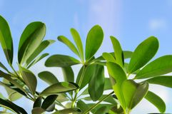 Green Leaves over Blue Sky in Summer Stock Photo