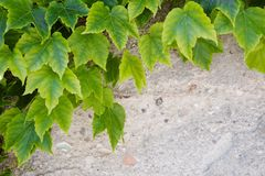 Green leaves over a gray wall Stock Images