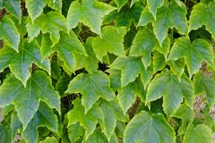 Green leaves over a wall Royalty Free Stock Photos