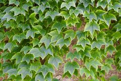 Green leaves over a wall Royalty Free Stock Photography