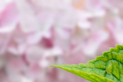 Green leaves over pink flower blooming blur background Royalty Free Stock Images