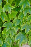 Green leaves over a wall Royalty Free Stock Photo