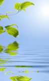 Green leaves over water Royalty Free Stock Photography