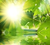 Green Leaves Over Water Royalty Free Stock Image