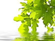Green leaves over water Royalty Free Stock Photo