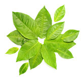 Green leaves over white Stock Photography