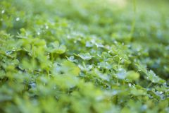 Green leaves of Oxalis pes-caprae, Bermuda buttercup. Invasive species and noxious weed Royalty Free Stock Photo
