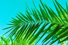 Green leaves of a palm branch against the background of the azure sky. Green leaves of palm branch against the background of the azure sky stock photography