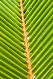 Green leaves of a palm on daylight Royalty Free Stock Images