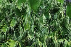 Green leaves of palm tree background. Detail of green leaves of palm tree background Royalty Free Stock Photos