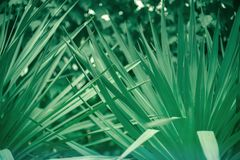 Green leaves of a palm tree background. Green leaves of a palm tree abstract pattern background Royalty Free Stock Photos