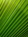 Green leaves of palm tree for background or pattern Royalty Free Stock Images