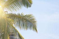 Green Leaves of a palm tree, blue sky and the sun. Exotic Tropical background. Palms in India, Goa.  royalty free stock image