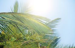 Green Leaves of a palm tree, blue sky and the sun. Exotic Tropical background. Palms in India, Goa royalty free stock photos
