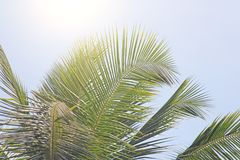 Green Leaves of a palm tree, blue sky and the sun. Exotic Tropic. Al background. Palms in India, Goa Royalty Free Stock Photography