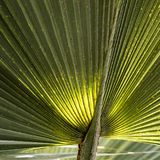 Green leaves of palm tree. Detail of green leaves of palm tree Royalty Free Stock Photography