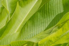 Green leaves of palm tree full texture stock photo