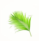 Green leaves of palm tree isolated on white Royalty Free Stock Photo