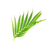 Green leaves of palm tree isolated on white Royalty Free Stock Images