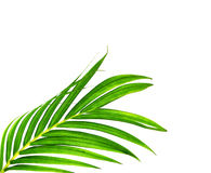 Green leaves of palm tree isolated on white Stock Photography