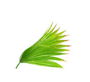Green leaves of palm tree isolated on white Stock Photo