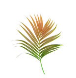 Green leaves of palm tree Stock Images