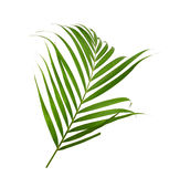 Green leaves of palm tree Stock Photos