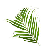 Green leaves of palm tree. Isolated on white background Royalty Free Stock Image