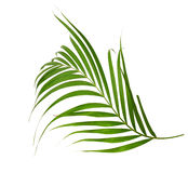 Green leaves of palm tree Royalty Free Stock Photography