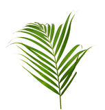 Green leaves of palm tree Stock Photography