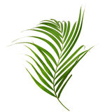 Green leaves of palm tree Royalty Free Stock Photo