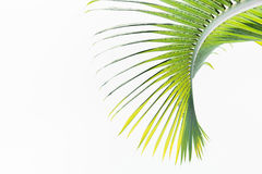 Green leaves of palm tree Stock Photo
