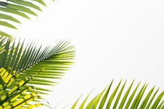 Green leaves of palm tree Royalty Free Stock Images
