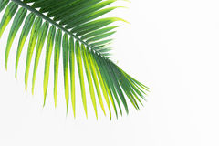 Green leaves of palm tree Stock Image