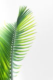 Green leaves of palm tree Royalty Free Stock Photos