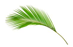 Green leaves of palm tree isolated on white background. This can be used as a business card background and can be used as an advertising image vector illustration