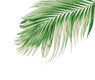 Green leaves of palm tree isolated on white background Stock Photos