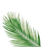 Green leaves of palm tree isolated on white background Royalty Free Stock Photos
