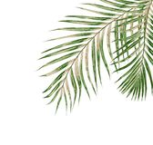 Green leaves of palm tree isolated on white background Royalty Free Stock Image