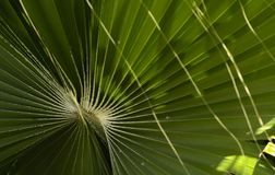 Green leaves of a palm tree spiral with a white middle. In the center. Close-up of fragments. In the category of creative abstract background of exotic summer Royalty Free Stock Photo
