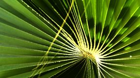 Green leaves of a palm tree spiral with a white middle. In the center. Close-up of fragments. In the category of creative abstract background of exotic summer Royalty Free Stock Photography