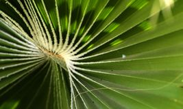 Green leaves of a palm tree spiral with a white middle. In the center. Close-up of fragments. In the category of creative abstract background of exotic summer Royalty Free Stock Photos